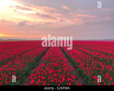 Red tulips field at sunset - Stock Image