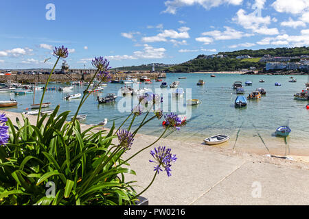 Agapanthus flowers on St. Ives Harbour, St. Ives, Cornwall, England, UK - Stock Image