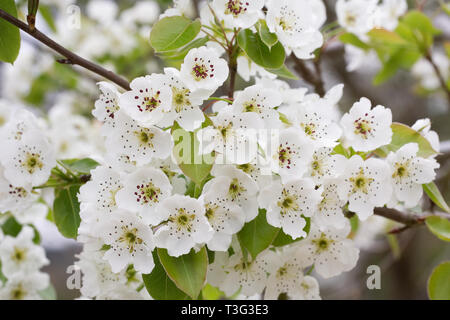 Pyrus communis. Pear blossom. - Stock Image
