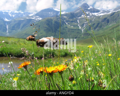 Alpine meadow - Stock Image