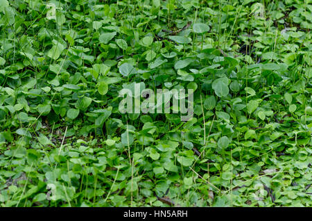 Forest floor covered with friar's cowl, larus, Andalusia, SPAIN. - Stock Image