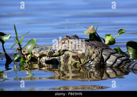 Close-up of a Yacare Caiman (Caiman yacare) in the Water. Porto Jofre, Pantanal, Brazil - Stock Image