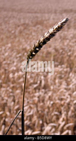 Ear of wheat or corn in a filed ready for harvest for either food or bio fuel - Stock Image