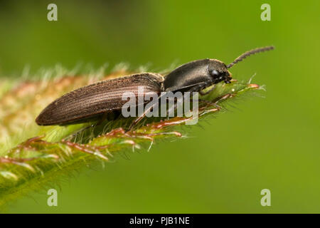 Click Beetle at rest on edge of leaf. Tipperary, Ireland - Stock Image