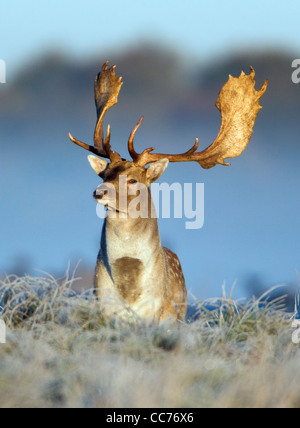 Fallow Deer (Dama dama), Buck Alert during the Rut, Royal Deer Park, Klampenborg, Copenhagen, Sjaelland, Denmark - Stock Image