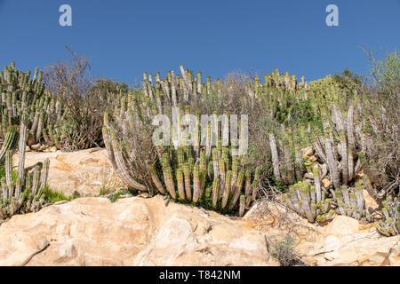 Cacti (euphorbia echinus) growing in the harsh arid environment on the hillside in Agadir, Morocco - Stock Image