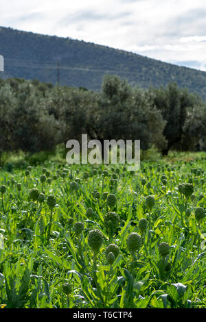 Farm field with green artichoke plants with ripe flower heads ready to new harvest in Greece - Stock Image