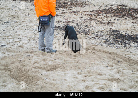 Man waiting whilst his black Labrador dog digs on Gyllyngvase Beach, Falmouth, Cornwall where dogs are only allowed - Stock Image