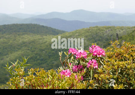 Rhododendron along the Blue Ridge Parkway, North Carolina, near Asheville. - Stock Image