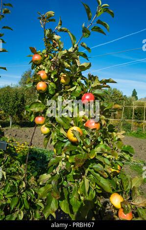 Fillingham Pippin Desert  dessert apples ripe in late September on a tree in Helmsley Walled Garden North Yorkshire - Stock Image