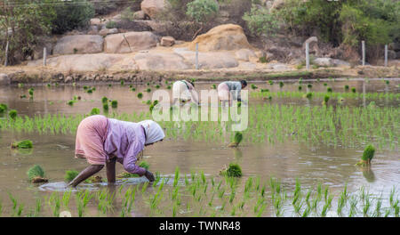 Women working in the rice fields on a hot summer day in south India. - Stock Image