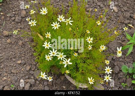 Coreopsis verticillata 'Moonbeam' giving ground cover - Stock Image