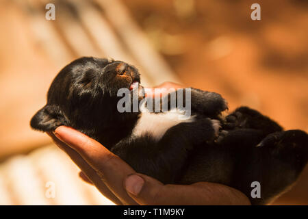 Hands cupping newborn puppy - Stock Image