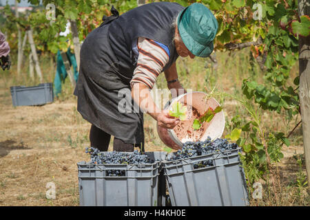 Woman working in the vineyard emptying a bucket of grapes into a crate for collection. She is removing a leaf - Stock Image