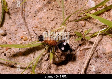 Velvet ant / mutillid wasp (Trispilotilla sp.: Mutillidae), Namibia - Stock Image