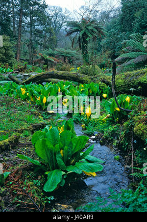 Skunk Cabbage or Symplocarpus growing wild in the Jungle at The Lost Garden of Heligan - Stock Image