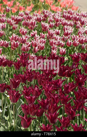 field of colorful tulips in a row, endless field of tulips in different bright colors in spring - Stock Image