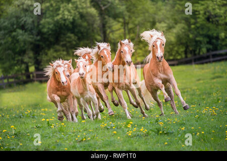 Haflinger Horse. Herd of juvenile stallions galloping on a meadow. South Tyrol, Italy - Stock Image