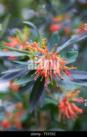 Embothrium coccineum flowers. - Stock Image