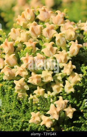 Immature Female Cones of Chinese Thuja Platycladus orientalis - Stock Image