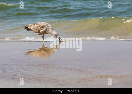 A seagull that found something on wet sand stands on the border of the Baltic Sea and the sandy beach in Kolobrzeg, Poland. - Stock Image