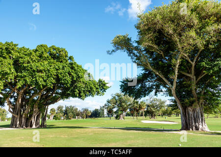 Miami Beach Florida Normandy Shores Public Golf Club Course banyan strangler fig tree trees aerial prop roots - Stock Image