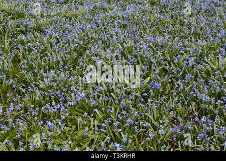 Siberian Squill woodland flowers, Scilla siberica - Stock Image