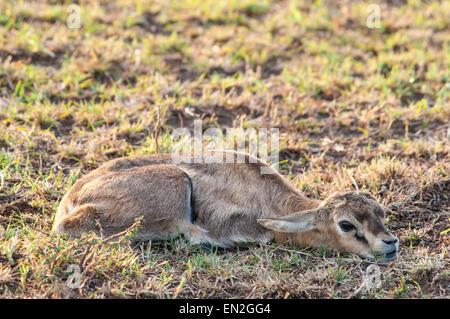 Thomson's Gazelle Fawn, Eudorcas thomsonii , Lying flat, motionless, camouflaged, Masai Mara National Reserve, - Stock Image