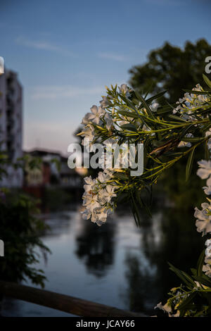 Philadelphus Virginalis close-up with a river and houses in the background - Stock Image