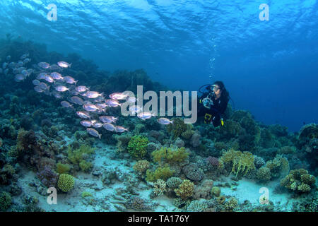 Female scuba diver photographs school of big-eyed soldierfish on a coral reef in the Northern Red Sea off the coast of Egypt. - Stock Image