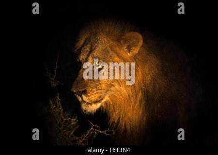 Lion (Panthera leo) male at night, Zimanga private game reserve, KwaZulu-Natal, South Africa - Stock Image