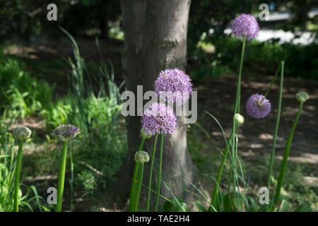 Giant allium blooming in Manhattan's Hudson River Park. Allium giganteum, common name giant onion, is an Asian species of onion. - Stock Image