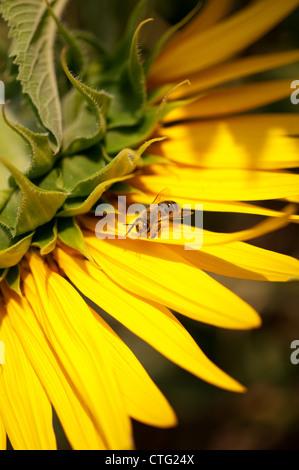 little bee on yellow sunflower - Stock Image