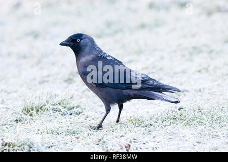 Hailsham, UK. 24th Jan 2019.UK weather.A Jackdaw (Corvus monedula) appears to be covered with frost this morning after a cold night in Sussex. Wildlife will struggle to find food as the cold weather worsens this week. Hailsham, East Sussex, UK. Credit: Ed Brown/Alamy Live News - Stock Image