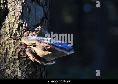 bracket fungus (polypore) on tree trunk - Stock Image
