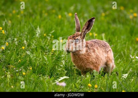 Field hare, Lepus europaeus, Feldhase (Lepus europaeus) - Stock Image