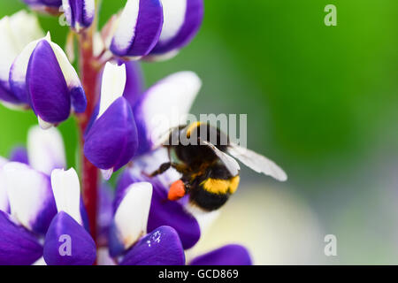 A honey bee collecting pollen - Stock Image