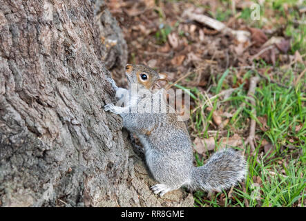 Grey Squirrel on tree Sciurus carolinesis - Stock Image