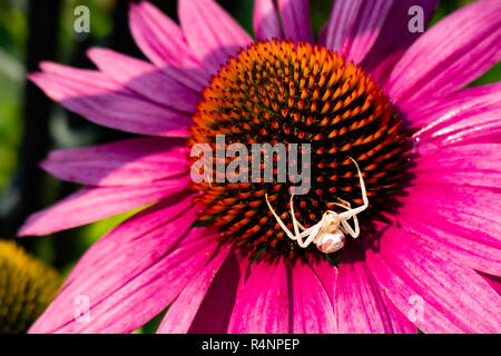 A crab spider, Thomisidae, sitting on a pink cone flower in a garden in Speculator, NY USA waiting for a bee for lunch. - Stock Image
