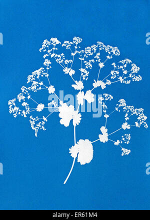 Cyanotype blue print ladys mantle Alchemilla mollis gives white negative image on blue background invented by Sir - Stock Image