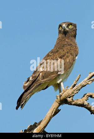 Black-breasted Snake Eagle - Stock Image