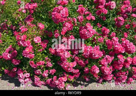 Rose Pink flower carpet. - Stock Image