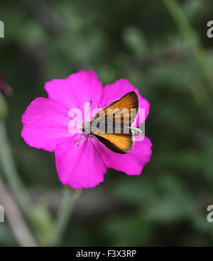 LARGE SKIPPER Male taking nectar from rose campion Hungary June 2015 - Stock Image