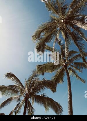 Palm trees in Hawaii. Kauai, Hawaiian Islands, USA. - Stock Image