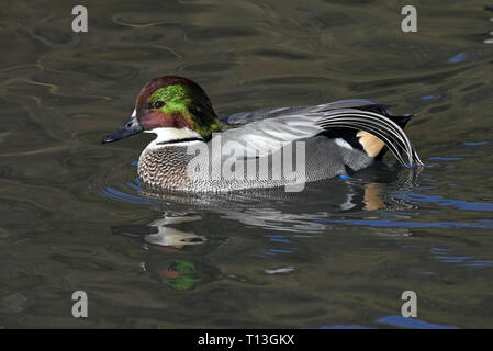 A male Falcated Duck (Mareca falcata) in full breeding plumage swimming on a lake in Southern England - Stock Image
