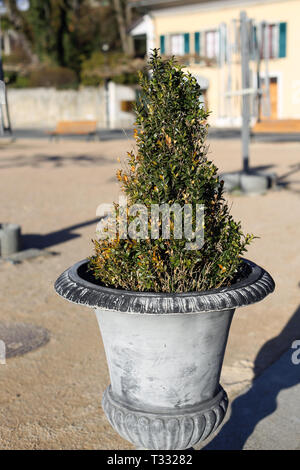 Big grey flower vase with a little green bush growing from it. Photographed on a sunny spring day with warm yet neutral colored background. - Stock Image