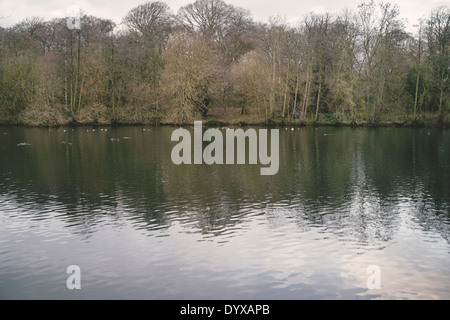 Ducks on the Upper Lake at the Yorkshire Sculpture Park. - Stock Image