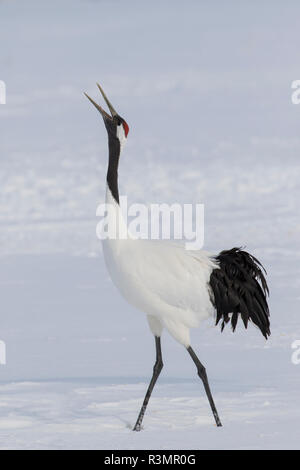 Red Crowned Crane of northern island of Hokkaido, Japan - Stock Image