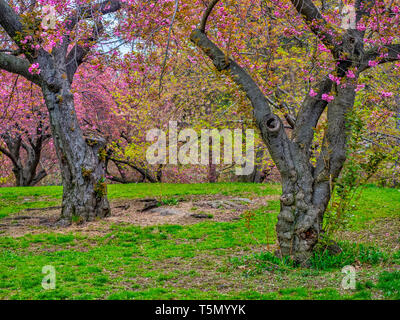 Central Park, Manhattan, New York City in spring with Japanese cherry trees in bloom - Stock Image