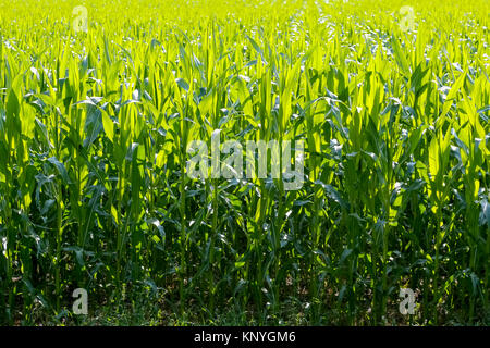 The green field of maize on a sunny day is shown in close - Stock Image